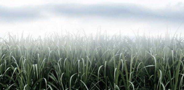 Qual o impacto das geadas na cana-de-açúcar?